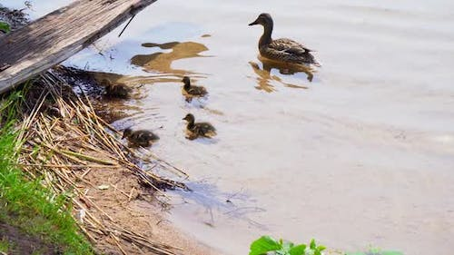 Mama duck and her ducklings on the lake
