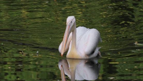 Dalmatien Pelican Pelecanus Crispus est le plus grand membre de la famille de pélican