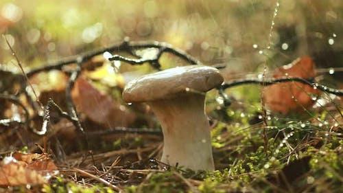 Mushroom Boletus In a Sunny Forest in the Rain