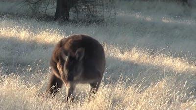 Kangaroo eating grass at Kangaroo Island