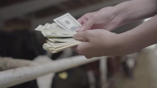 Female Worker's Hands Counting Money on the Cow Farm in Front of Stall with Cows