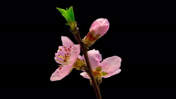 Thumbnail for Peach Blossom Timelapse Isolated