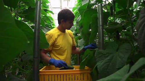 Hydroponic Industry of Man Harvesting Fresh Cucumbers in Light Greenhouse Indoors Spbd