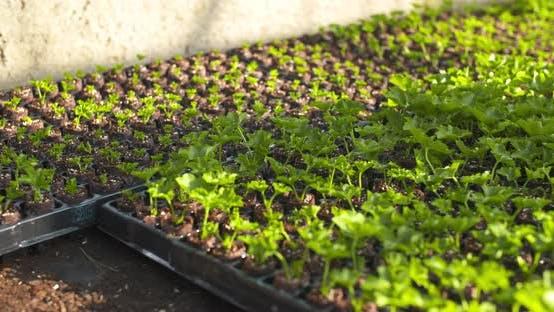 Thumbnail for Landwirtschaft - Pflanzen Sämlinge im Gewächshaus