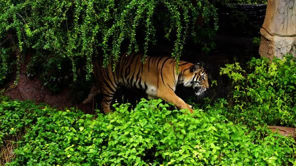 bengal tiger walking in the forest