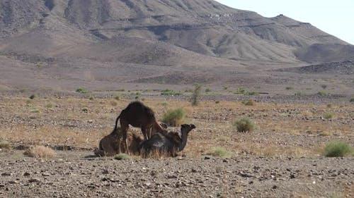 Dromedary camel sitting down
