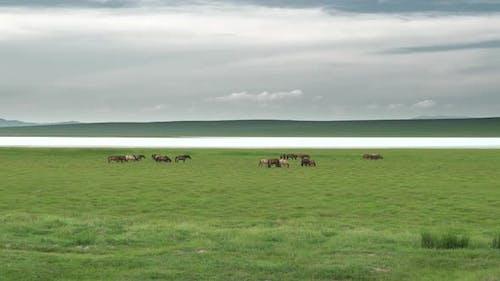 Free Herd of Wild Horses in Great Lakeside Meadow in Asia