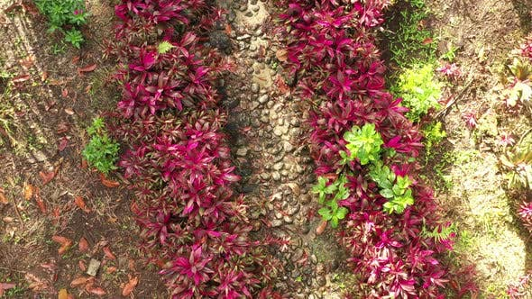 Thumbnail for Zooming out on path in a tropical garden that is lined with plants that have bright red leaves