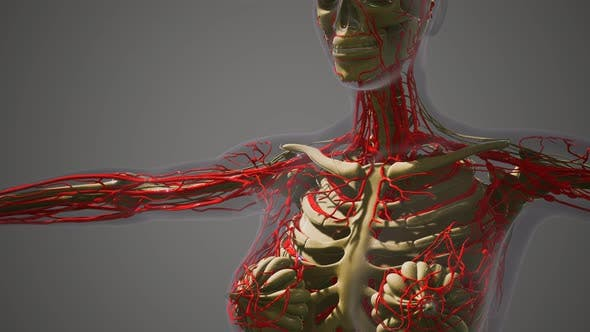 Science Anatomy of Human Blood Vessels