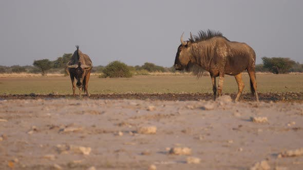 Thumbnail for Two wildebeest a waterhole