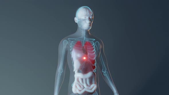 Human Male Internal Organs Representation