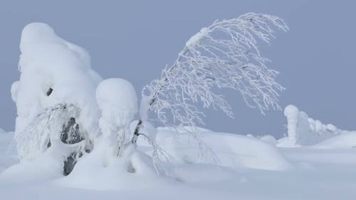 Snowdrifts and Thin Tree