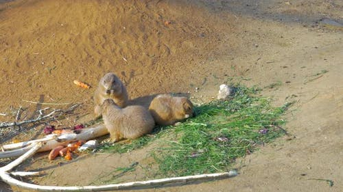 Three Black-tailed Prairie Dogs Eating
