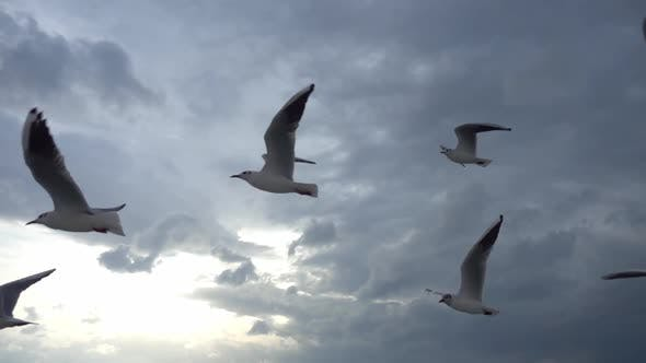 Thumbnail for Flock Of Seagulls Fly Overhead Slow Motion