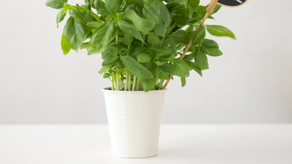 Cover Image for Green Basil Herb with Name Plate in Pot on Table