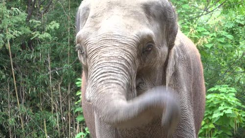 Asian Elephant Alone Face Trunk Tusks