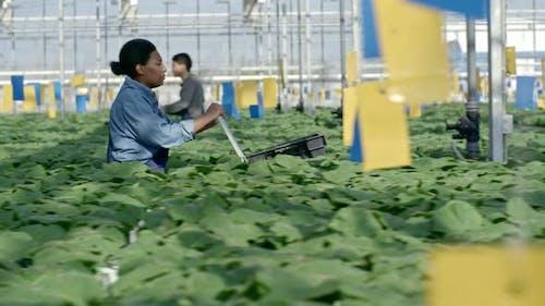 Female Employee Working in Greenhouse