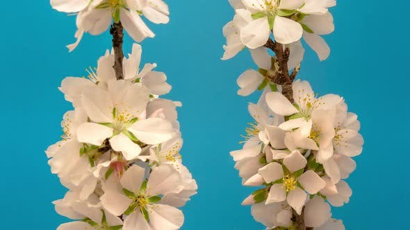 Thumbnail for Almond Blossom on Blue Timelapse
