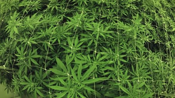 Thumbnail for Marijuana Plants Canopy Indoor