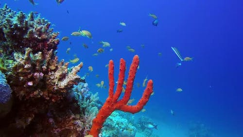 Red Sea Sponge and Fishes