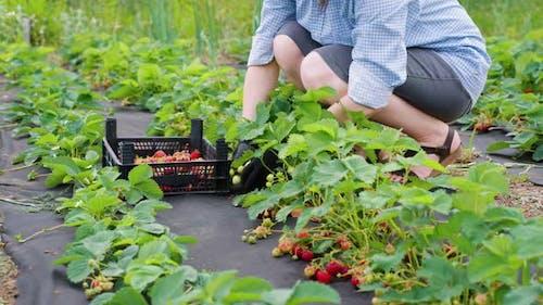 Female Farmer Picking Strawberries on Farm
