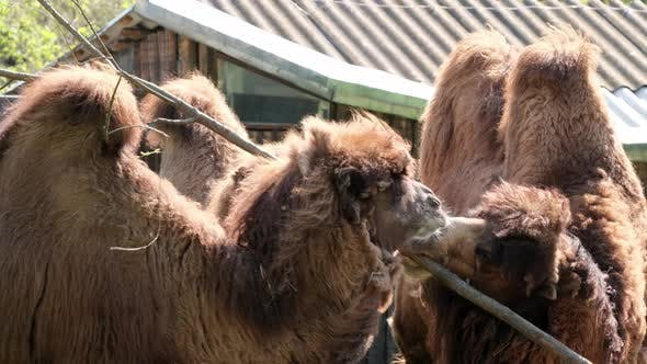 camels eating tree branche in zoo