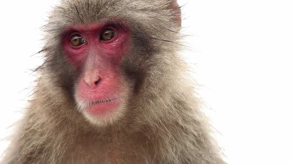 Cover Image for Japanese Macaque (Snow Monkey)
