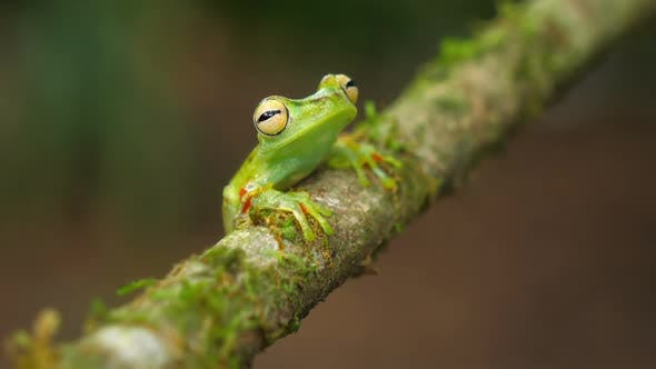 Thumbnail for Canal Zone Tree Frog in its Natural Habitat in the Caribbean Lowlands