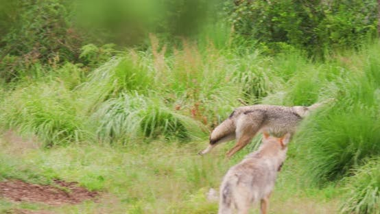 Wolf Running on Field in Forest