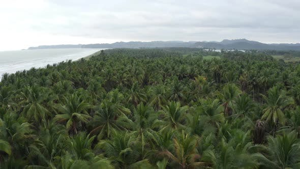 Aerial footage showing a large coconut palm tree plantation