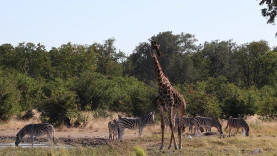 Zebra and giraffe in bush, Botswana Africa wildlife