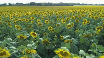 Field of Sunflowers in the Summer in Bulgaria
