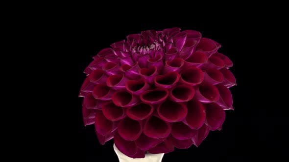 Thumbnail for Rotating burgundy dahlia flower with ALPHA channel, seamless loop