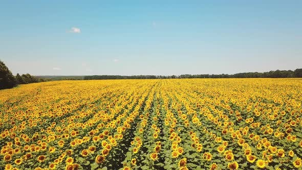 Thumbnail for Aerial View of Cultivated Sunflower Field in Summer