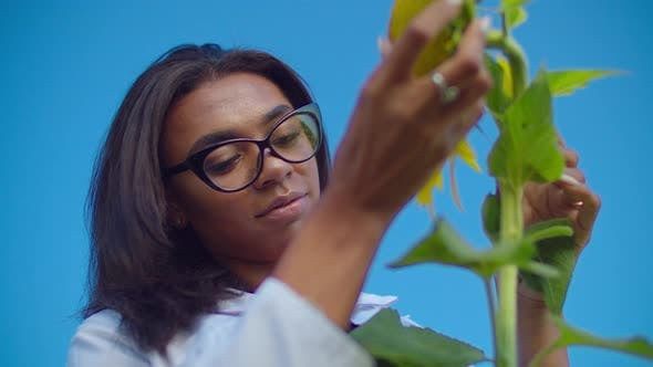 Cover Image for Agronomist Inspecting Sunflower Plant in Farm Field