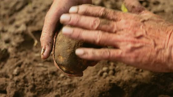 Farmer Inspects His Crop of Potatoes Hands Stained with Earth