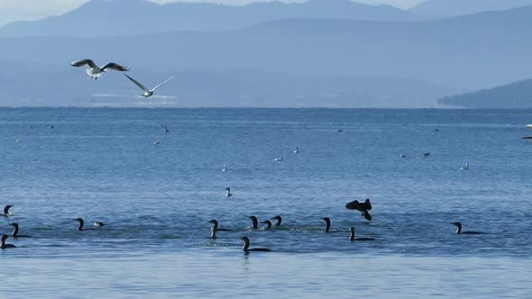 Thumbnail for Group of cormorants passing by while diving underwater