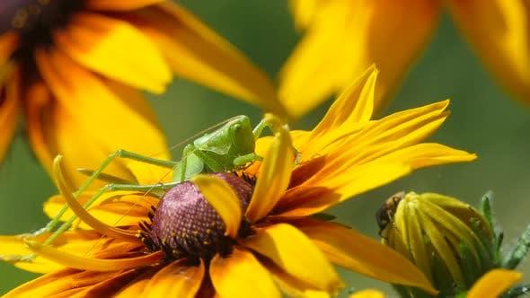 Thumbnail for Locust Grasshopper