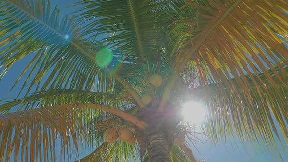 Thumbnail for Caribbean Palm Trees Sunny Day With Coconuts