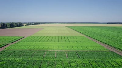 Beautiful Summer Landscape of a Corn Field