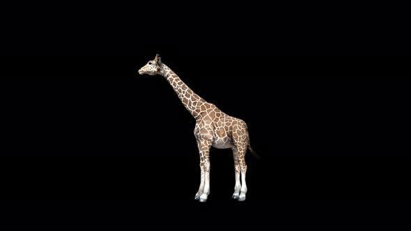 Thumbnail for 4K Giraffe Eat