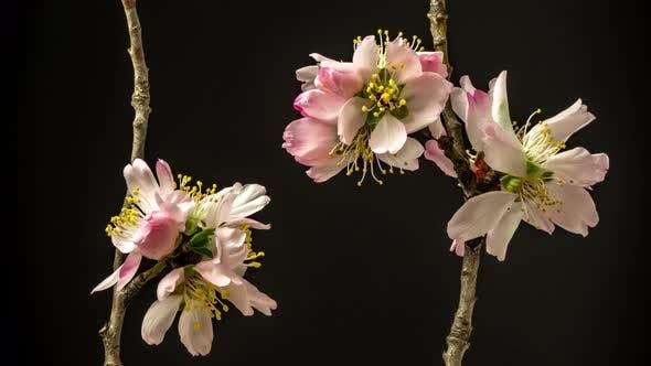 Thumbnail for Almond Flower Blossom Timelapse