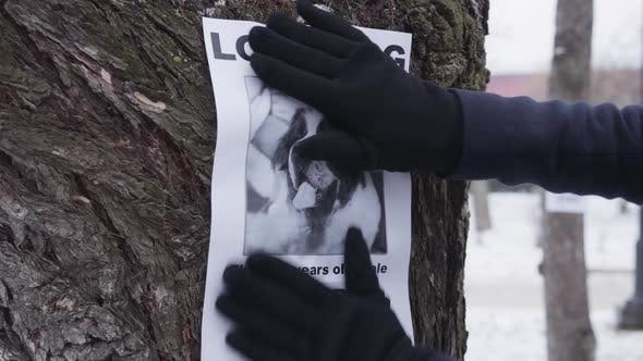 Close-up of Hands in Winter Gloves Hanging Missing Dog Ad on the Tree. Saint Bernard's Owner