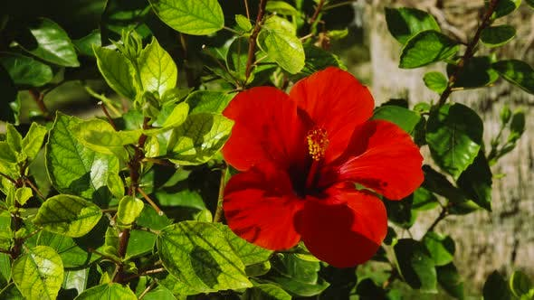 Thumbnail for Tropical Red Hibiscus Flowers . Close Up