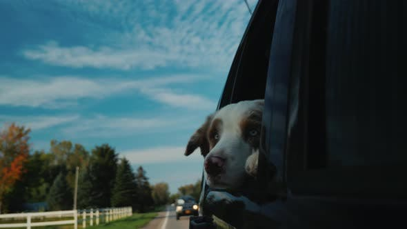 Thumbnail for The Dog Looks Out the Window of the Car. Travel with the Pet