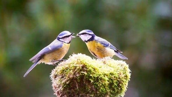 Bluetit bird feeding her baby