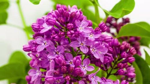 Lilac Flower Blossom