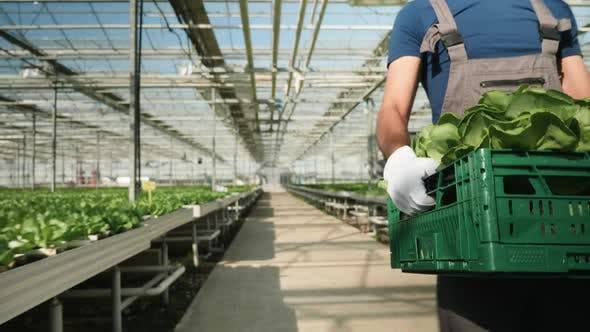 Thumbnail for Agriculture Worker Carry a Box of Green Salad in Greenhouse