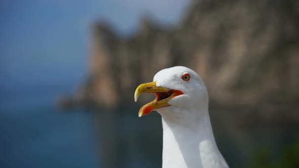 Thumbnail for Laughing Gull Close-up Looks Into the Camera
