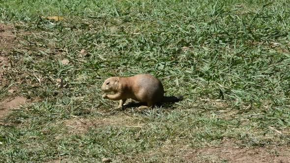 Beautiful Prairie Dog